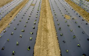 norma europea CEN FprEN 13655:2017, películas plásticas biodegradables, film, François de Bie, European Bioplastics, EUBP, Reglamento de Fertilizantes de la UE, Parlamento Europeo, film biodegradable, agricultura,